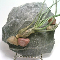 Air Plant Terrarium, Slate Air Plant Holder, Tillandsia, Rock Garden, Nautical, Fish