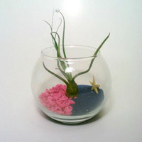 Air Plant Terrarium, Hot Pink, Blue, Glass Air Plant holder, Sand and Rocks, Tillandsia
