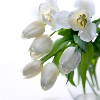 Dreamy white tulips fine art photography.Great for home decoration