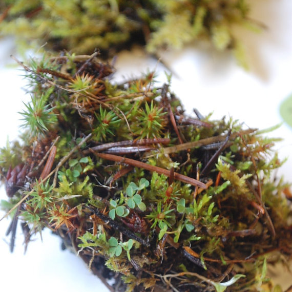 moss specimen live moss pieces terrarium supplies by paperanji