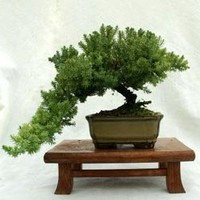Dwarf Japanese Juniper Bonsai Tree