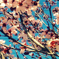 iPhone Wallpaper Photography Cherry Blossoms Wall by beachbumchix