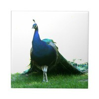 Blue peacock just grass clear sky ceramic tile from Zazzle.com