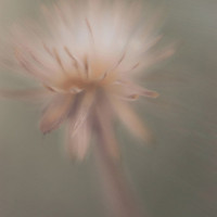 Dreamy Photography flower nature puff grey cold by dullbluelight