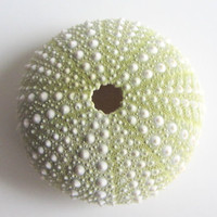 Beach Decor - Seashells - Green Sea Urchin for Beach Decor, Beach Weddings or Crafts - 3 pc.