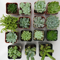 A Collection Of 6 Succulent Plants Great For by SucculentsGalore