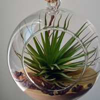 hanging air plant terrarium in glass orb with Tillandsia Stricta