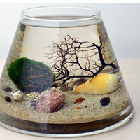 Marimo Terrarium - Japanese Moss Ball Aquarium - Trapez glass vase - Sea Fan - Sea Shells