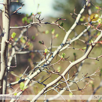Prickly tenderness - Spring branches nature photograph - fine art photography print