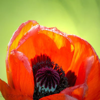 Poppy Photograph, Botanical Print, Nature Photography,Flower Art,  bright orange red with lime green 8x10  neon