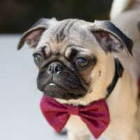 Dog Collar and Cranberry Bow Tie Wedding Photo by CamargoCreations