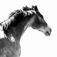 Horse Photo - 8x10 Black and White Photography Print - Minimal Fine Art Horse Running Mane Head Equine Gray Grey Monotone