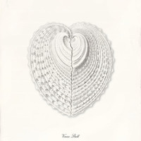 Sea Shell Art Print - 8 x 10 - Venus Shell