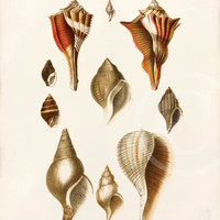 Vintage Shell Print  - 8 x 10 - Shells C - Wall Art - Home Decor