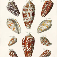 Antique Shell Art Print - 8 x 10 - Coni Shells Wall Decor