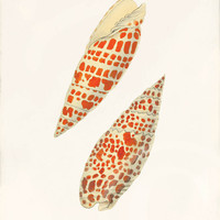 Beautiful Sea Shell Print Collage - 5 x 7 - La Mitre Episcopale 1