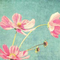 How sweet it is Sweet pink cosmos flowers against a by honeytree