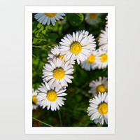Daisies Art Print by Pirmin Nohr