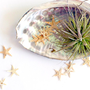 abalone starfish // air plant tillandsia // garden