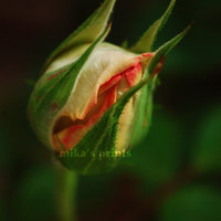 Rose Photograph - macro white flower photography - 8x12 Fine Art Photo Print