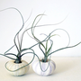 the wispy duo  // 2 tillandsia urchin terrariums