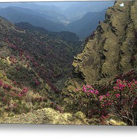 Rhododendrons Bloom In The Chopta Valley Acrylic Print By Rohit Chawla