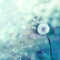 Dandelion photography botanical print 8x10 nature wall art teal lilac blue nursery art dreamy dandelion bokeh abstract