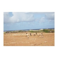 Wild feral Donkeys on Bonaire Gallery Wrap Canvas from Zazzle.com