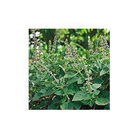Amazon.com: Organic Holy Basil Herb 100 Seeds: Patio, Lawn & Garden