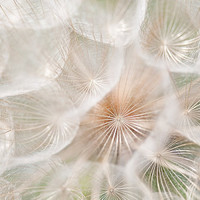 Macro Photo of Dandelion Fluff Fine Art Photo by CarlaDyck