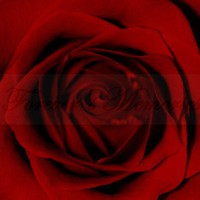 Beautiful Red Rose - Original Limited Edition Digital Photograph 5 x 7 | foreversmemories - Photography on ArtFire