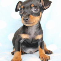 Miniature Pinscher (Min Pin) Puppies For Sale