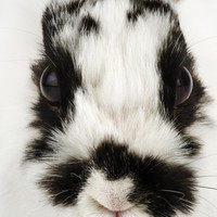 Face of Jersey Wooly Rabbit Photographic Print by Martin Harvey at Art.com