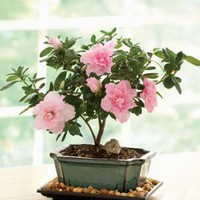 February's Bonsai - Pink Azalea