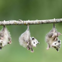 Baby Opossum Hanging from Branch Photographic Print by Frank Lukasseck at Art.com