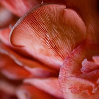 Nature Photography, Pink Oyster Mushroom print, Nature art, earthy decor, photographic art, for home and office décor. Title is: 114