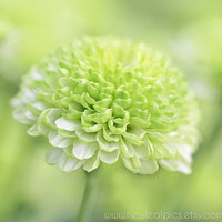 pale green Mum flower botanical print, cottage chic gifts for her, fine art photography