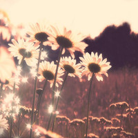 Nature photography, flowers, daisy photo, field flowers, monochomatic, purple sepia, dreamy, rustic, wall decor, handmade, viviarte