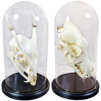 Deer Skulls In Glass Domes