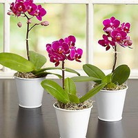Mini Phalaenopsis Orchid | Orchid Party Pack | 1-800-FLOWERS.COM-101059