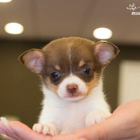 Buy a Teacup Chipoo puppy , from Dreamy Puppy available only at DreamyPuppy.com Place a $200.00 deposit online!
