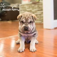 Buy a Shar Pei puppy , from Dreamy Puppy available only at DreamyPuppy.com Place a $200.00 deposit online!