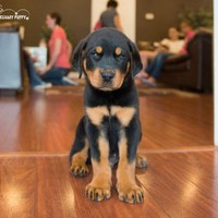 Buy a German Rottweiler puppy , from Dreamy Puppy available only at DreamyPuppy.com Place a $200.00 deposit online!