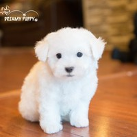 Buy a Bichon Frise puppy , from Dreamy Puppy available only at DreamyPuppy.com Place a $200.00 deposit online!