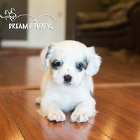 Buy a Cockachon puppy , from Dreamy Puppy available only at DreamyPuppy.com Place a $200.00 deposit online!